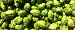 Smith Rock Hop Farm Fresh Hops